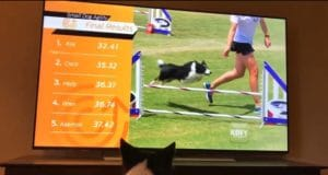 Border collie watches herself win an agility contest on TV #cutedogs