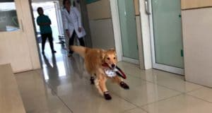 Happy Golden Retriever playing a game of tag #happydog