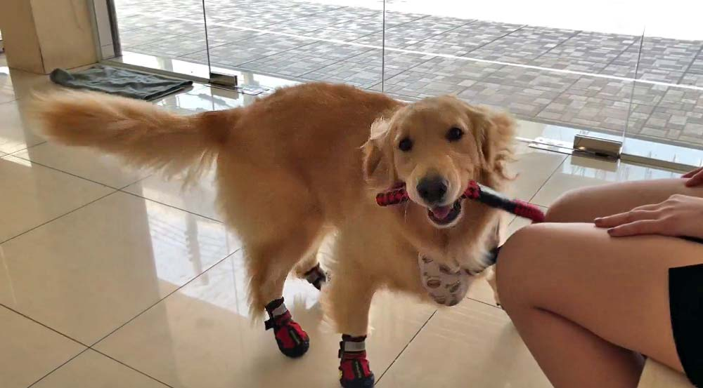 Golden Retriever puppy plays at the vets office with her new shoes #funnydog