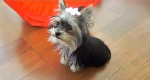 therapy dog yorkie puppy shows off her tricks