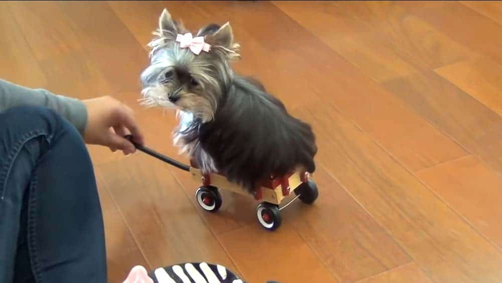 training a therapy dog to ride in a wagon