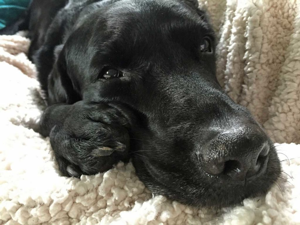 Labrador laying on a blanket