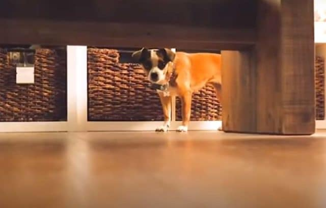 Blossom the rescue dog trembles in fear in her safe place