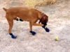 Funny dog video of dog shoes for the first time