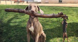 Funny dog pics a little doxie and his big brother the Weimaraner