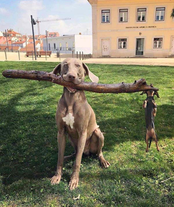 Big ol Weimaraner lifts his brother the Doxie for a game of fetch