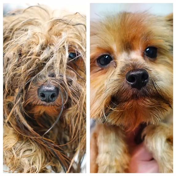 Rescue dog Cesar before and after his clean-up