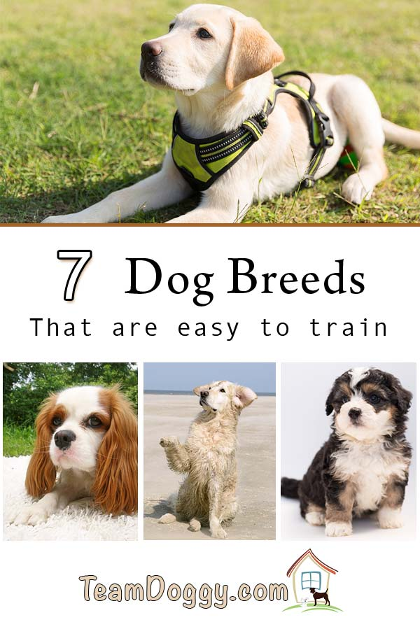 Looking for a first pet? These dogs are some of the easiest to train. #dogtraining #firstpet