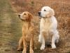 Golden Retrievers looking out at the distance