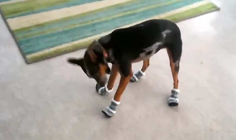 Funny little pup tries on shoes for the first time