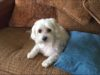 Adorable Maltese Kacy caught red handed in the act of being bad #funnydog