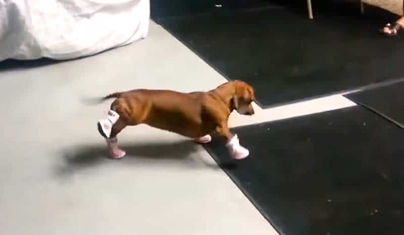 Pink dog shoes worn for the first time