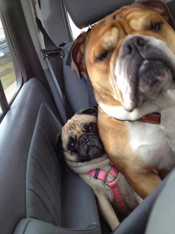 Little Pug gets crowded in the back seat