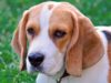 Purebred beagle can have health problems