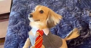 Cute Daschund learns all his tricks to Harry Potter spells #dogtricks #harrypotter