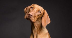 Dog dimentia can be heart breaking learn how to handle it in your pooch