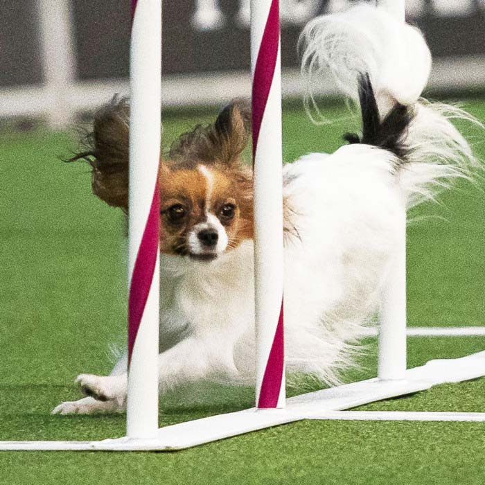 Papillon races to victory at the 2019 Wesminster Dog Show agility competition
