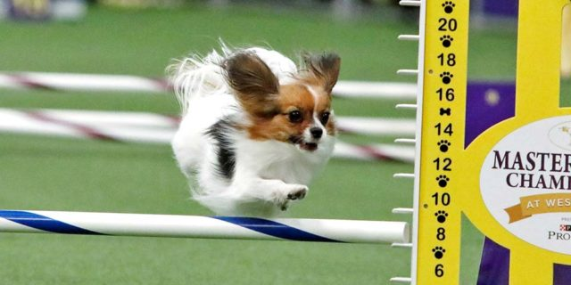 Gabby the Papillon wins the small dog agility run at the 2019 Westminster Dog Show