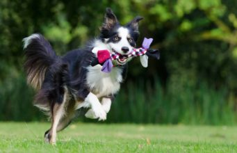 Border Colie playing: play time for your dog is mentally and physically healthy for them
