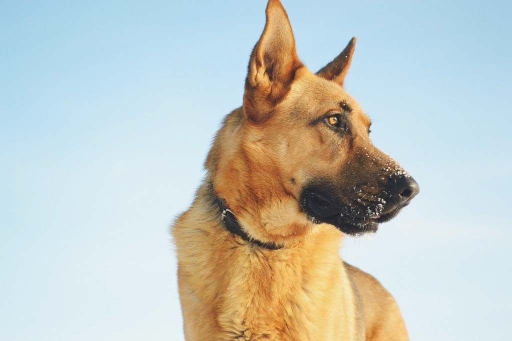 German shepherd trains as a service dog