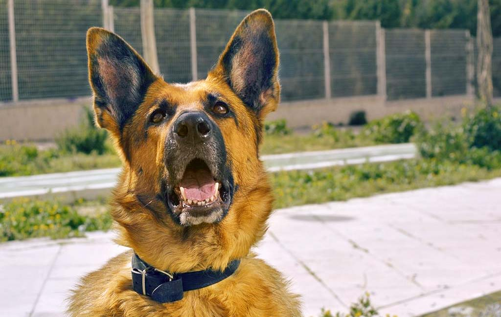 German Shepherd service dog in training Ryker