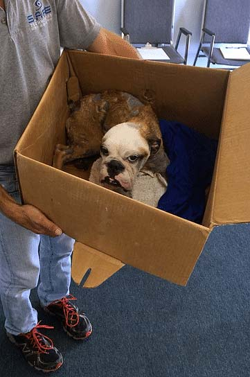 Bulldog puppy brought to a shelter to be re-homed