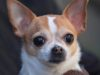 Agressive Chihuahua needs training and a loving owner
