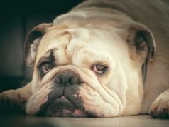 Princess the Bulldog is saved from the streets of Florida