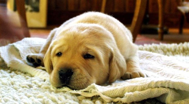 Taking apple cider vinegar for parvo can help your puppy recover faster. #doghealth