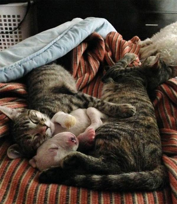 Pitbull puppy sleeps with his cat brothers