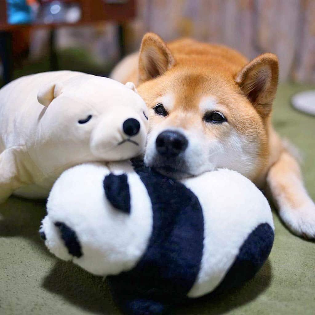 Maru the Shibu Inu cuddles with his friends