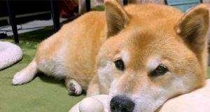 Maru has a funny way of sleeping with stuffed animals