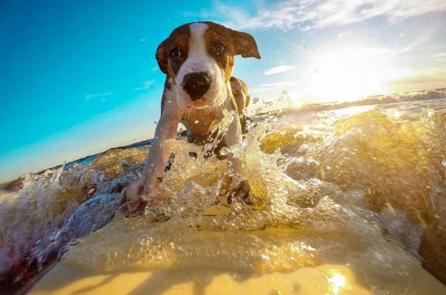 Surf lessons for dogs benefits a California animal shelter