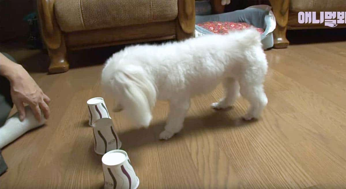 Very intelligent Maltese learns to pick the right cup