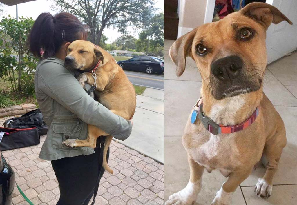 Abused pregnant fighting dog rescued and finds a new home
