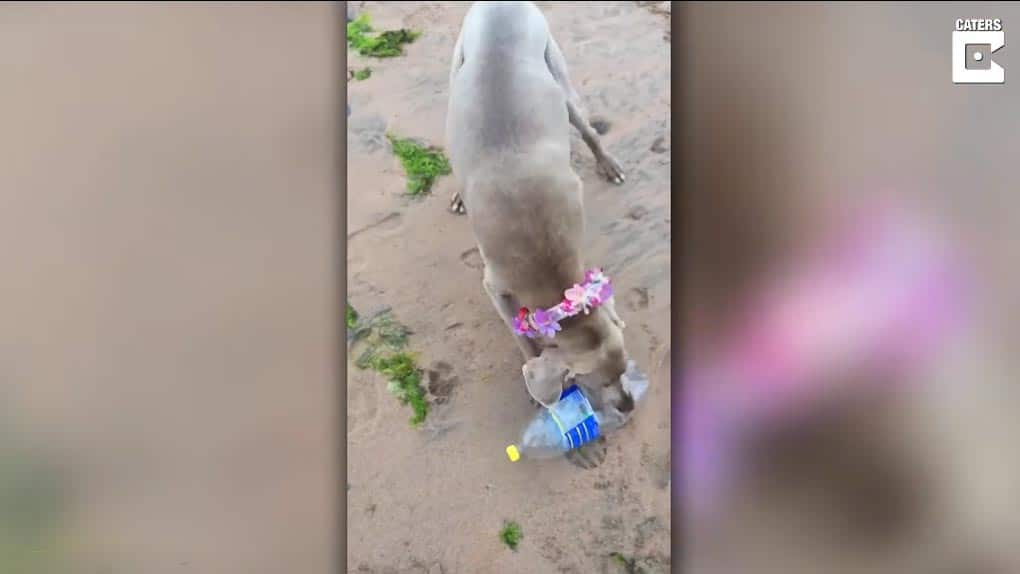 Weimaraner helps pick up plastic from the beach