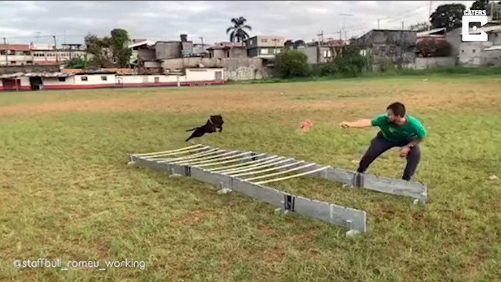 16 foot jump by a super Bull Terrier