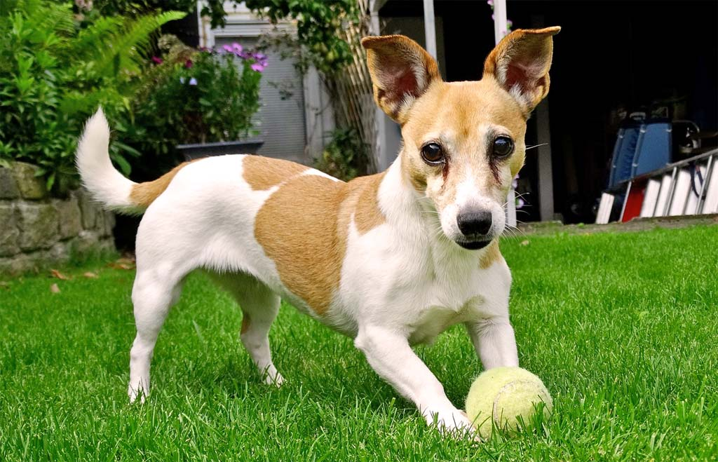 Jack Russell loves to play catch with a tennis ball