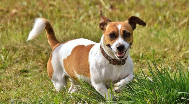 This Jack Russell beats a cancer diagnosis for over 12 years
