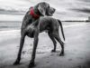 Beautiful Weimaraner helps clean up the beach