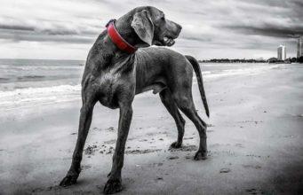 Beautiful Weimaraner helps clean up the beach