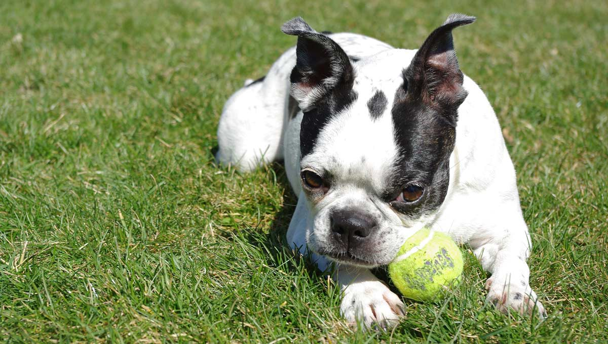 Boston Terrier has trouble getting his ball unstuck