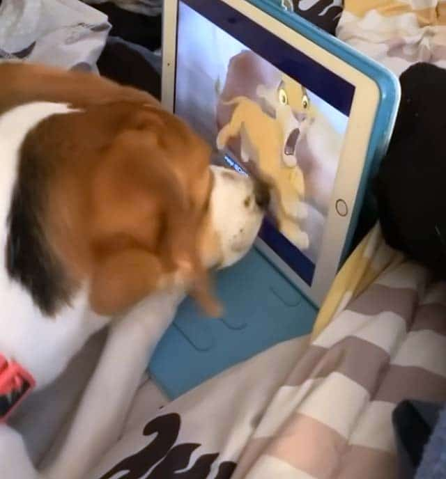 Such a heart warming pup she loves watching movies and gets so sad watching the Lion King