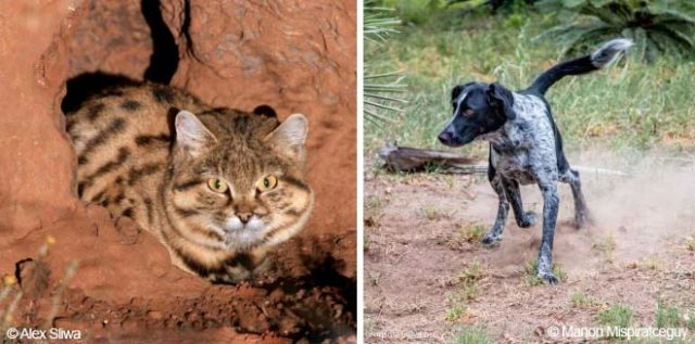 Rescue dogs become the rescuers by saving wild cats