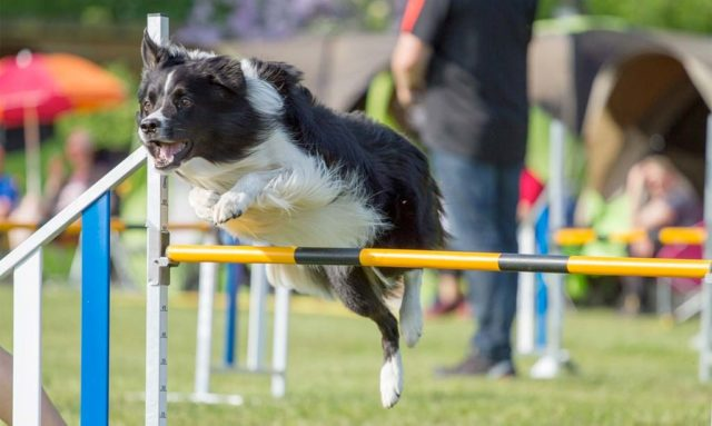 P!nk the Border Collie wins again at Westminster Masters Agility Championship