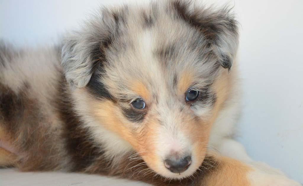 little Pockets newborn pocket sized puppy