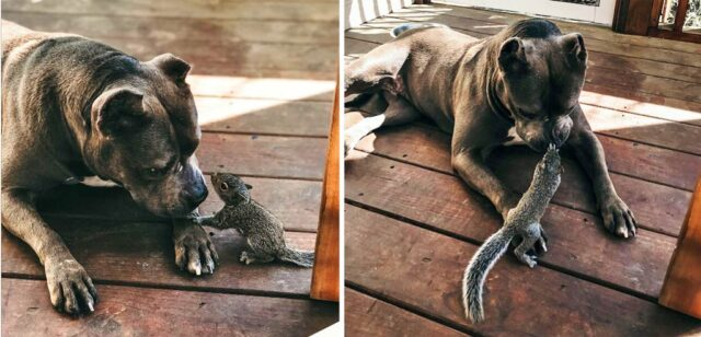 This Pitbull and wild Squirrel are the Best of Friends