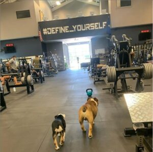 another day at the gym for gus the bulldog