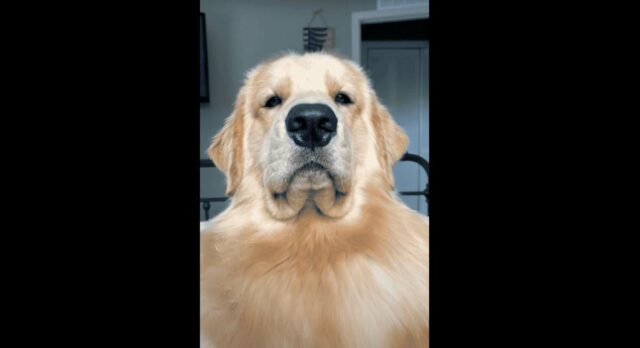 Golden Retriever Shows off His Silly Expressions