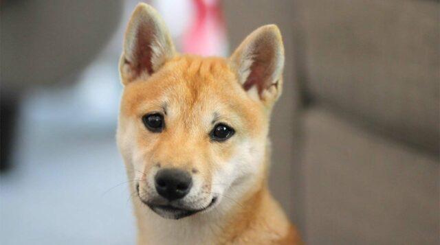 Shibu Inu Puppy